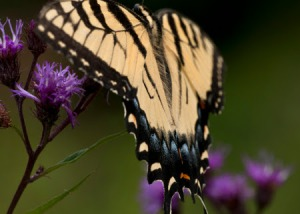 Swallow Tail on thistle